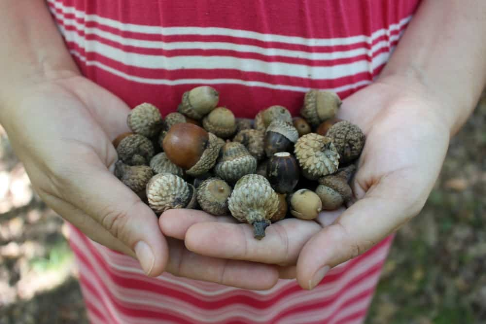 Gathering acorns in the woods!